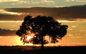 árbol de té - Amapola Biocosmetics