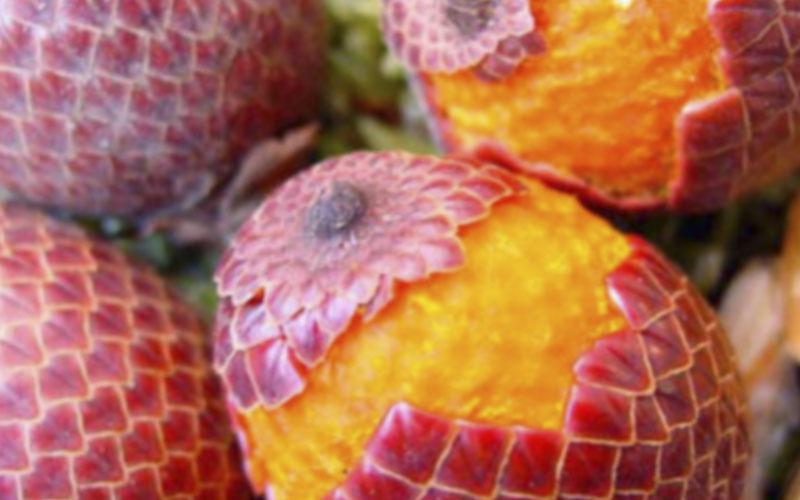 Aceite de Buriti - Amapola Biocosmetics - Cosmética Natural