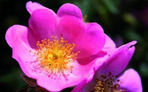 Rosa mosqueta - Amapola Biocosmetics