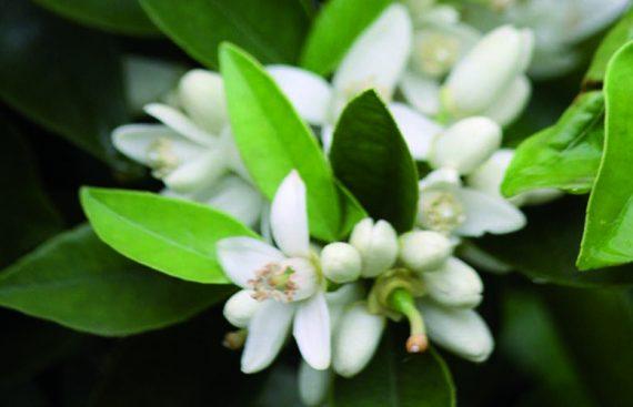 azahar - Amapola Biocosmetics
