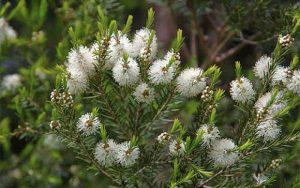 Árbol de té - Amapola Biocosmetics - Cosmética Natural
