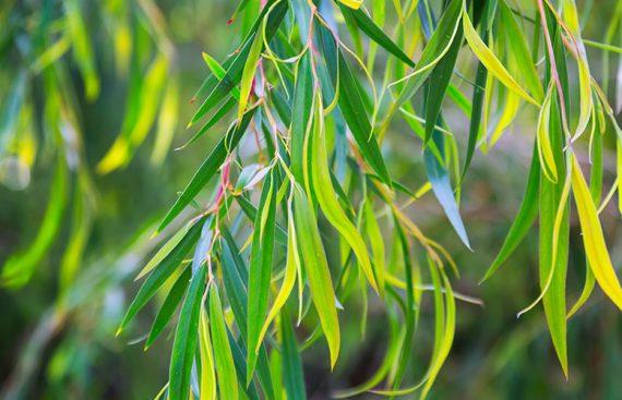 Eucalipto - Amapola Biocosmetics - Cosmética Natural