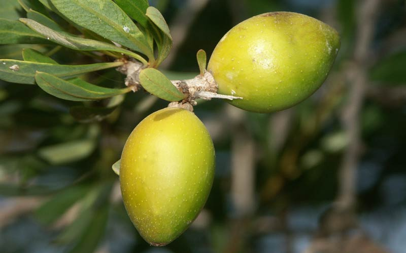 Jojoba - Amapola Biocosmetics