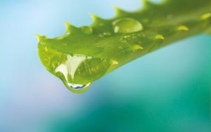 Aloe Vera - Amapola Biocosmetics - Cosmética Natural